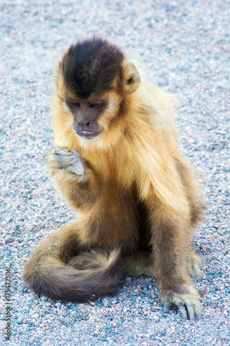 Valokuva  Hungry Capuchin monkey dines on the ground. Wild animal.