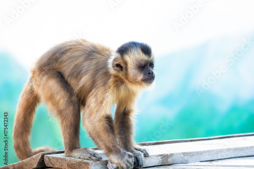 Capuchin monkey looks into the distance. Wild nature. Wallpaper Mural