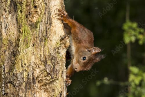 Printed kitchen splashbacks Squirrel Squirrel