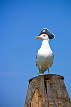Seagull Is A Pirate. Seagull I...