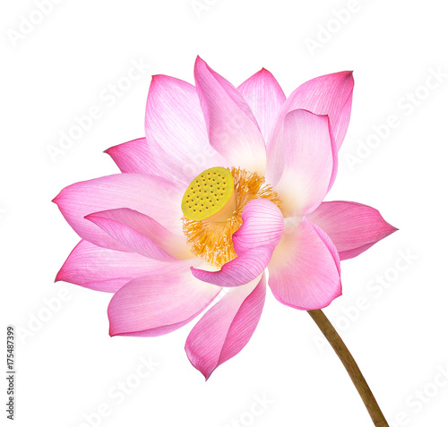 Foto op Canvas Lotusbloem Lotus flower on white background.