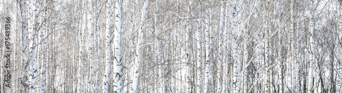Poster de jardin Bosquet de bouleaux Trunks of birch trees, birch forest in spring, panorama with birches