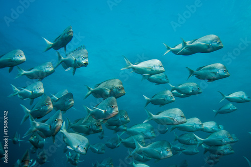 School of Slinger fish swimming together with blue water background Poster