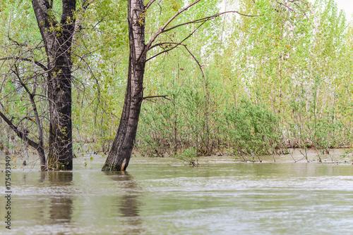Plakat Zalane pnie drzew topoli podczas wysokiej wody wczesną wiosną