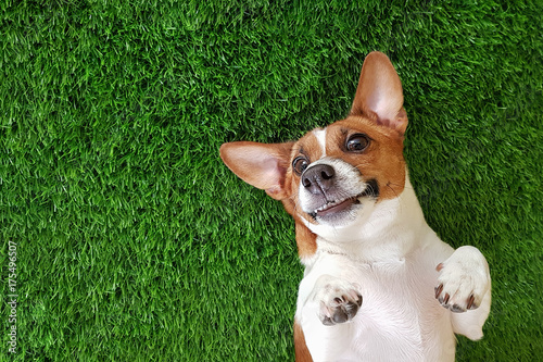 Fotobehang Hond Crazy smiling dog lying on green gras