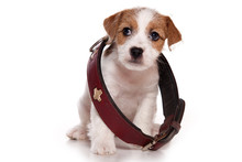 Puppy Jack Russell Terrier Dog...
