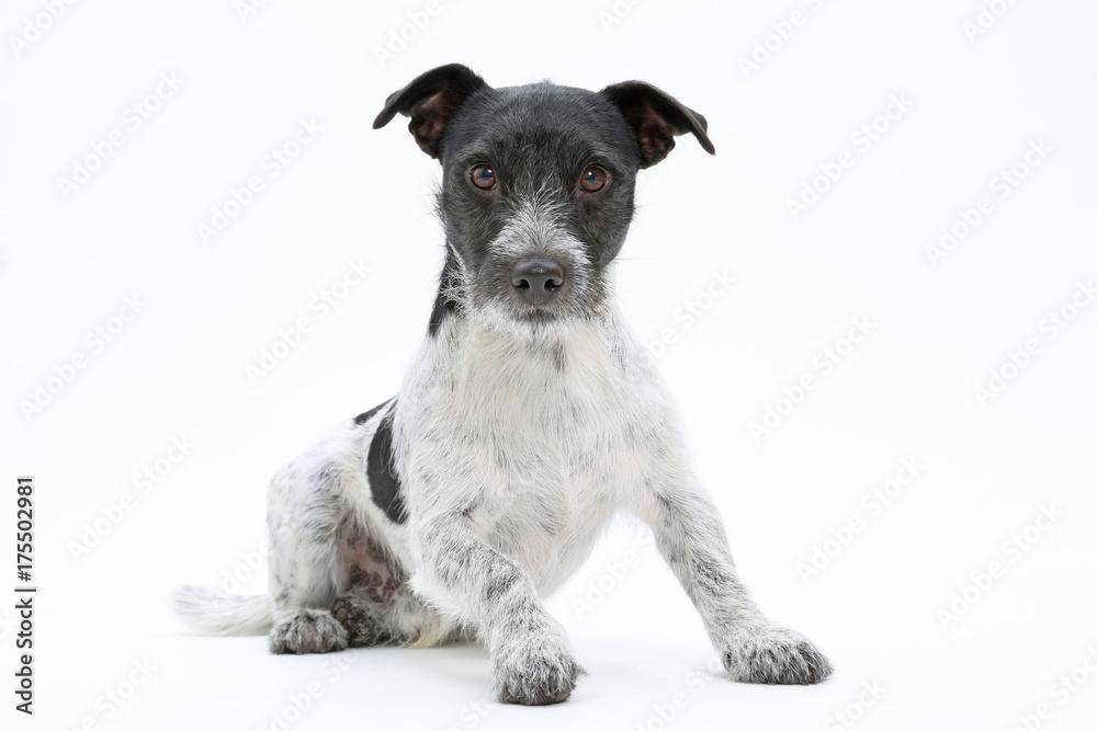 Photo & Art Print Jack Russell Terrier als Freisteller mit Blick in ...