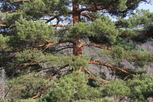 Fotografia, Obraz  Scots pine in Pyrenees, Pinus sylvestris