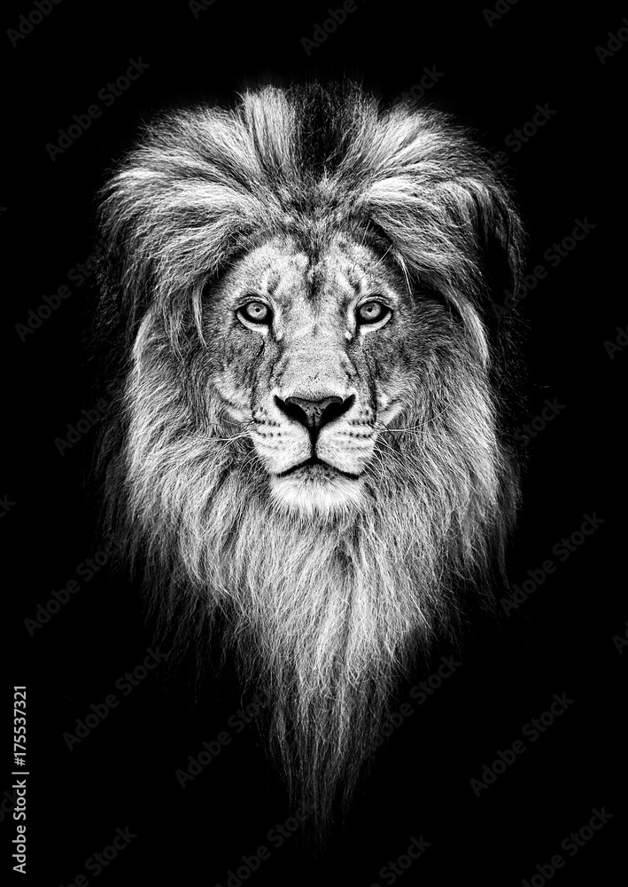 Fototapeta Portrait of a Beautiful lion, lion in dark