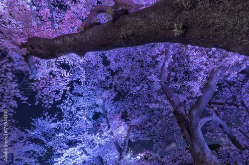 Fotobehang Tokio 東京の春、千鳥ヶ淵、ライトアップ