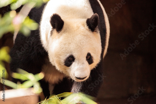 Fényképezés  Giant panda bear known as Ailuropoda melanoleuca