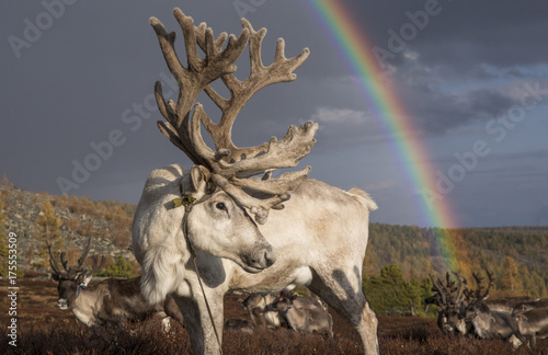 reindeer resting in a landscape of northern Mongolia with a rainbow at the background