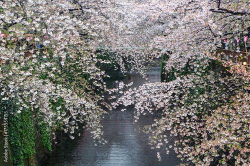 Plakat Kanał Nakameguro Ten obszar jest popularnym miejscem sakura w Tokio.
