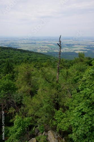 Fototapeta Wystające uschnięte drzewo ponad wierzchołki drzew w lasie - widok z wieży na Ślęży obraz