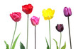 Set of different color tulips with green leaves isolated on white background