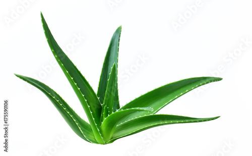 aloe leaf isolated white background Canvas Print