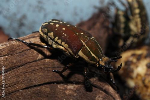 Photo  chelorrhina polyphemus