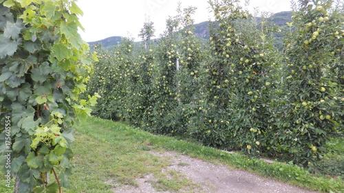 Keuken foto achterwand Olijf Anbau von Äpfeln