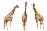 Fototapeta Zwierzęta - Set of three giraffes seen from front, isolated on white background