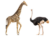 Set Of Giraffe And Ostrich Portraits, Isolated On White Background
