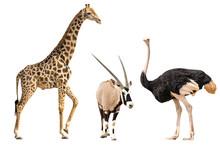 Set Of Oryx, Giraffe And Ostri...