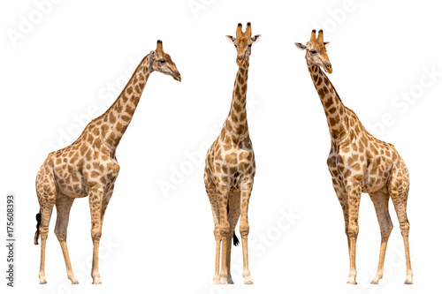 Spoed Fotobehang Giraffe Set of three giraffes seen from front, isolated on white background