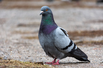 Dove pigeon bird