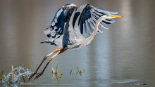 Great Blue Heron Takeoff