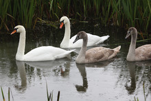 Swan Family In The Rain, Swimming In A Ditch