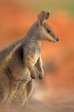 Tammar Wallaby (Macropus Eugen...