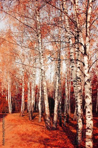 Papiers peints Orange eclat Scenic autumn nature landscape. Birch park in fall.