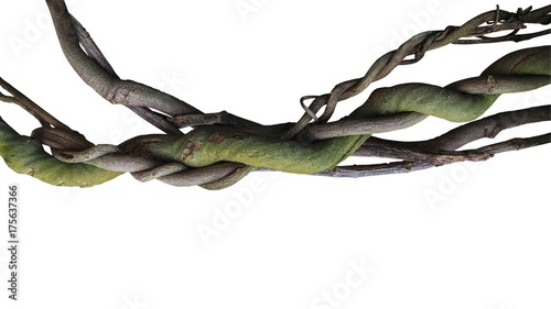 Twisted wild liana jungle vines plant isolated on white background, clipping path included Wallpaper Mural