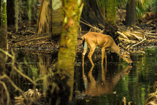 Deer In The Swamps Of Myakka River State Park, Florida