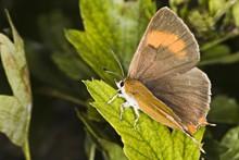 Brown Hairstreak Butterfly (Th...
