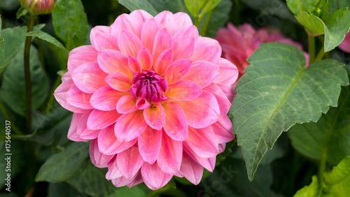 Poster Dahlia Very beautiful pink dahlia close-up.