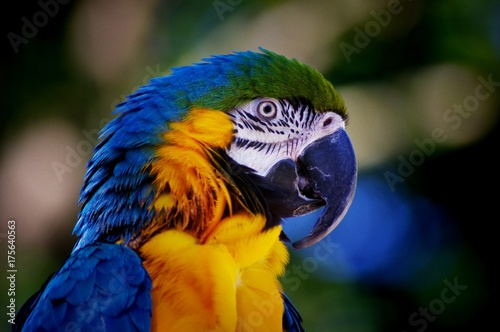 Fotomural Blue green and yellow parrot face closeup