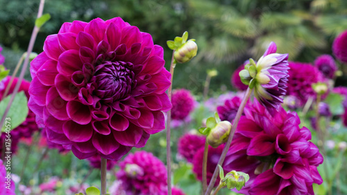 Autocollant pour porte Dahlia Dahlia close-up on a blurry very beautiful background.