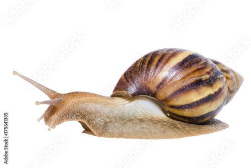 Zdjęcie XXL Zamyka up ślimaczek odizolowywający na białym tle.