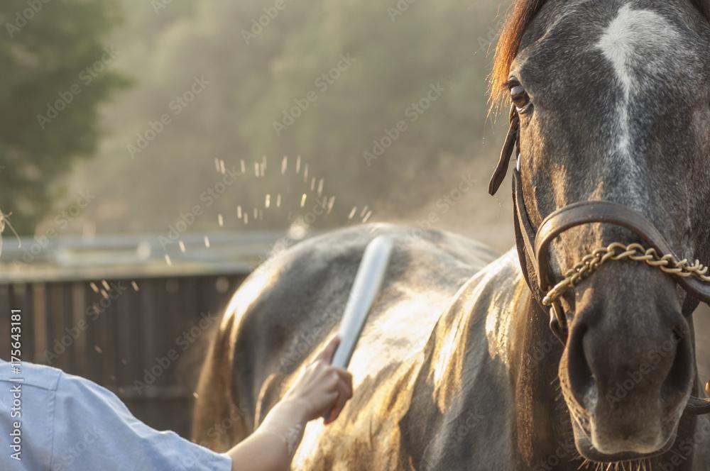 Fototapety, obrazy: Thoroughbred horse having a bath