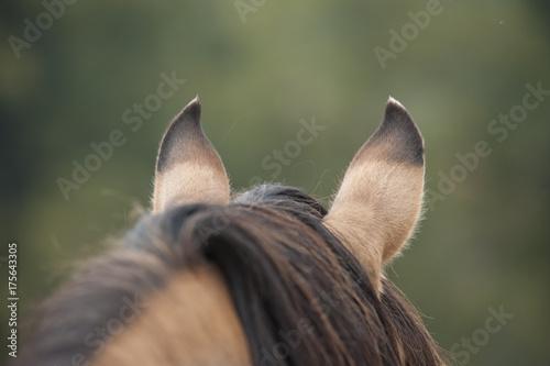 Fototapeta Kiger Mustang horse alert ears from behind obraz