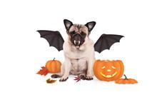 Pug Dog Dressed Up As Bat For ...