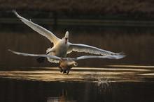 Mute Swan (Cygnus Olor) Defend...