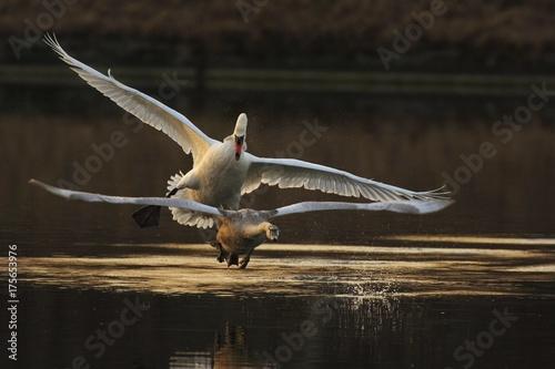 Keuken foto achterwand Zwaan Mute swan (Cygnus olor) defending his territory