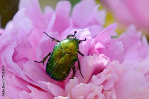 Canvastavla Glänzender Käfer