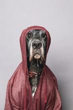 German Dane Wearing Hoody