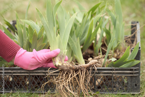 Foto op Plexiglas Iris Seedling plants in the hands of the girl before planting. Iris with spring roots.