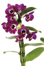Violet Orchids (Orchidaceae)