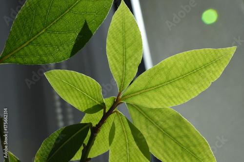 Obraz ziele angielskie - fototapety do salonu