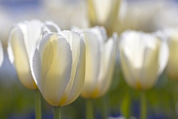 Obraz na Szkle White Maureen Tulips (Tulipa Maureen), belonging to the single late group, in bloom