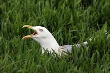Screaming Herring Gull Sitting On The Nest In The Breeding Area (Larus Argentatus)